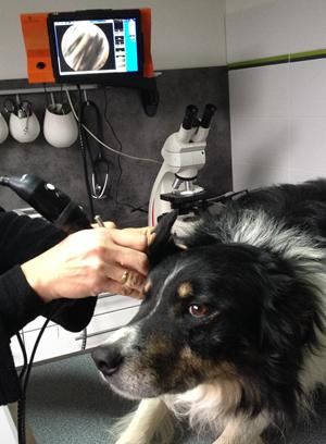 Examen auriculaire chien